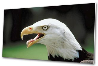 Mounted eagle photo print.
